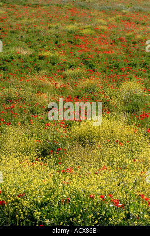 typical beautiful Wildflower field in Le Marche,Italy - Stock Image