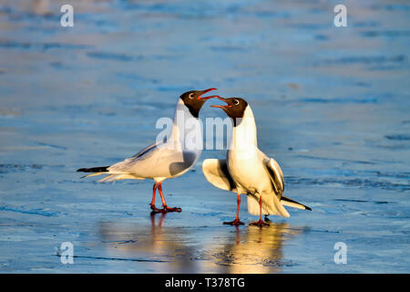Spring is coming and Black-headed Gull couple are strengthening the relationship on the frozen pond. - Stock Image
