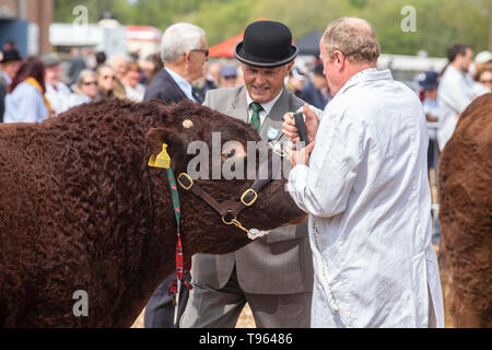 Judgin g the local Ruby Red Devon cattle at the Devon County Show, 2019 - Stock Image