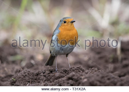 European robin Erithacus rebecula standing on freshly dug earth - Stock Image