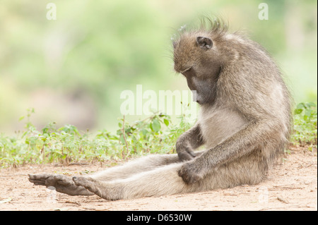 Chacma baboon Papio ursinus sitting legs outstretched  intently inspecting its genitalia - Stock Image