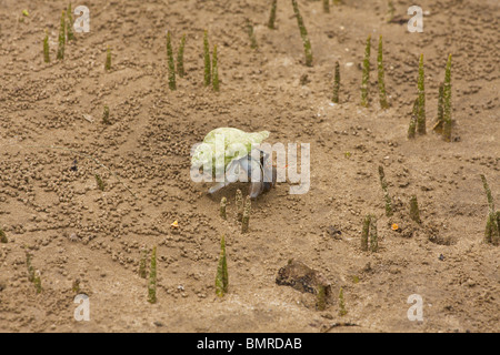 Hermit crab walking amongst breathing roots in mangrove swamp, Borneo - Stock Image