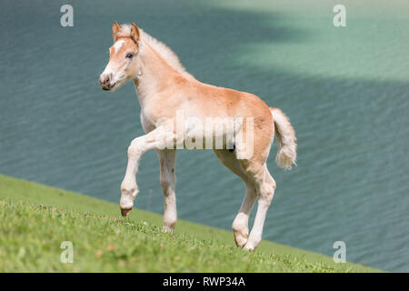Haflinger Horse. Filly-foal walking on a grassy slope next to a lake. South Tyrol, Italy - Stock Image
