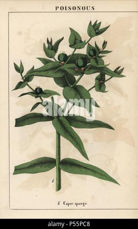 Caper spurge with green seeds, Euphorbia lathyris. . Chromolithograph from 'The Instructive Picturebook, or Lessons from the Vegetable World,' [Charlotte Mary Yonge], Edinburgh, 1858. - Stock Image