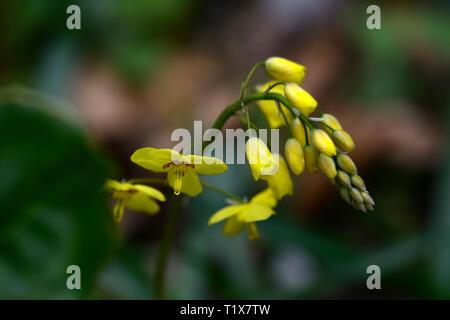 Epimedium × perralchicum Wisley,yellow,flowers,woodland,perennials barrenwort,shade,spring,shady,shaded,RM Floral - Stock Image