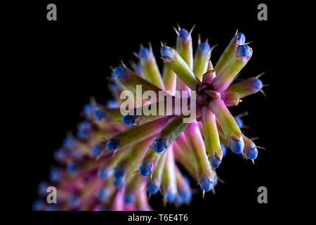 matchstick bromeliad macro on black background - Stock Image