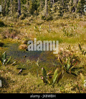 Alert Bay  ecological swamp forest in British Columbia, Canada - Stock Image