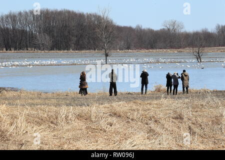 Quebec,Canada. People watching snow geese at the Lac Saint-Pierre RAMSAR site in saint-Barthelemy - Stock Image