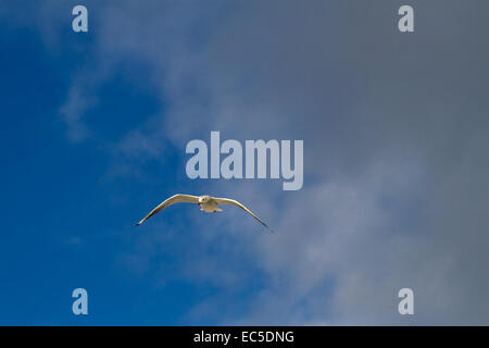 gliding seagull - Stock Image