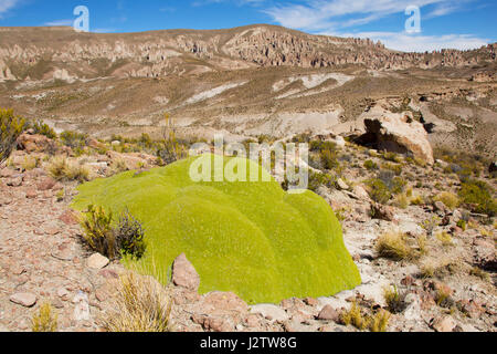 Intriguing green moss in Bolivia - Stock Image