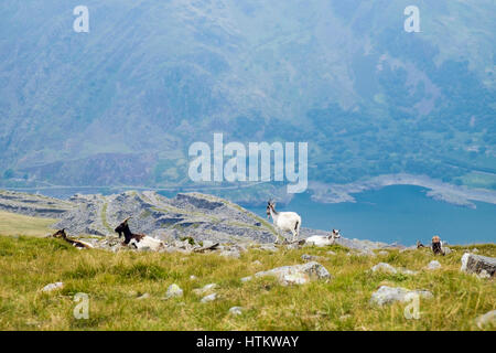 Wild Mountain Goats sitting on Elidir Fawr above Llanberis Pass in mountains of Snowdonia National Park, Llanberis, - Stock Image