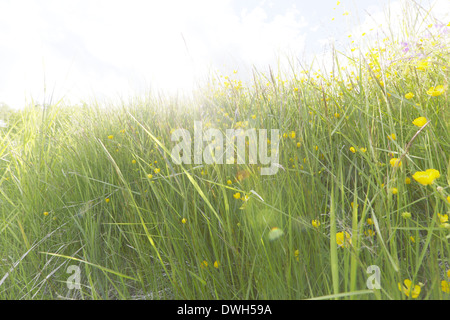 Buttercup flowers (Ranunculus) blooming in a meadow in spring. - Stock Image