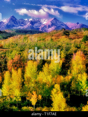 Aspens in fall color with San Juan Mountains. Uncompahgre National forest, Colorado - Stock Image