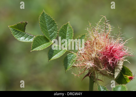 Robin's Pincushion (Diplolepis rosae) gall, on rose stem, Llanymynech Rocks Shropshire Wildlife Trust England UK Europe - Stock Image
