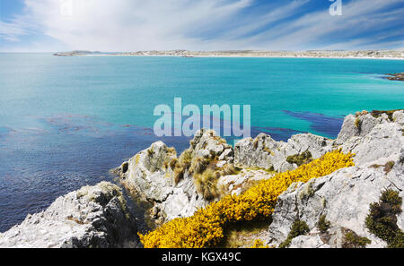 Rocky coastline and yellow gorse flowers, dark blue kelp beds and turquoise water of Yorke Bay, East Falkland Island - Stock Image