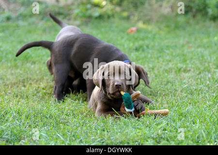 Brown Labrador Retriever puppy lying on a meadow with a duck plush toy in its mouth - Stock Image