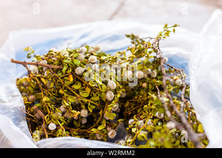 Closeup of chaparral medicine plant drying with flowers for health - Stock Image