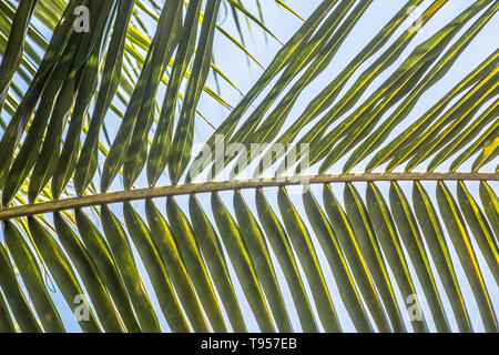 Close up of palm leaf in a tropical location - Stock Image