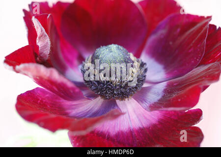a single red anemone flower on white still life - fresh and contemporary Jane Ann Butler Photography  JABP1801 - Stock Image