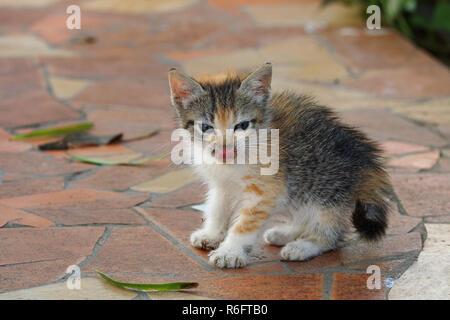 Very young tortoiseshell calico cat kitten licking nose - Stock Image