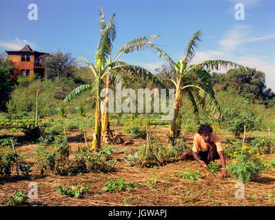 Jamaican organic farmer Marion Campbell works his farm . Campbell is a member of the Treasure Beach Ital  Farmers - Stock Image
