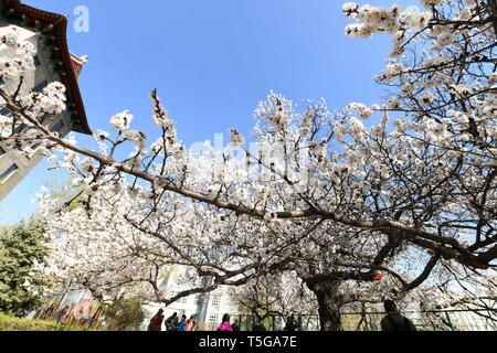 Harbin, China's Heilongjiang Province. 24th Apr, 2019. Apricot trees in full bloom are seen in Harbin Engineering University in Harbin, northeast China's Heilongjiang Province, April 24, 2019. Credit: Wang Song/Xinhua/Alamy Live News - Stock Image