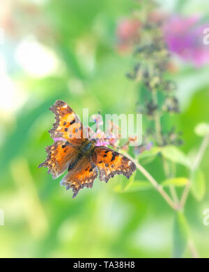 Comma butterfly / Green Comma / Polygonia faunus (faunus anglewing) feeding in the garden, on a natural green background - Stock Image