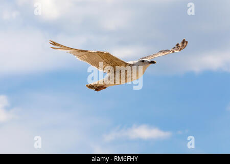 One gull is flying in a calm flight. This can be seen against the background of the blue sky in Kolobrzeg, Poland. - Stock Image