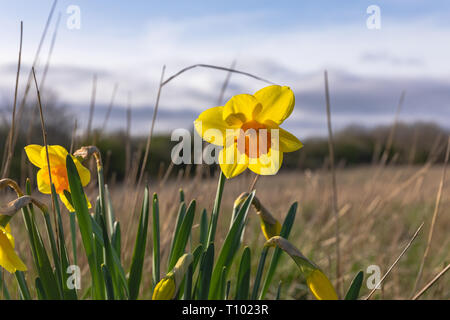A beautiful daffodil in a field - Stock Image