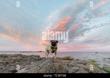 Mousehole, Cornwall, UK. 10th June 2019. UK Weather. Whilst most of the UK was drenched by torrential rain the far south west of the UK at Mousehole had a mostly sunny day Seen here Titan the pug on his evening walk at sunset. The forecast for tomorrow is heavy rain. Credit Simon Maycock / Alamy Live News. - Stock Image