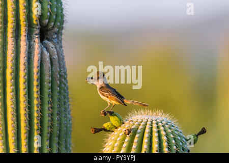 A Brown-crested Flycatcher (Myiarchus tyrannulus) perches before bringing a crushed cicada to its nest in a Saguaro  (Carnegiea gigantea). (Arizona) - Stock Image