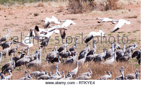 Snow Geese, Chen caerulescens, flying over flock of Sandhill Cranes in Arizona USA - Stock Image