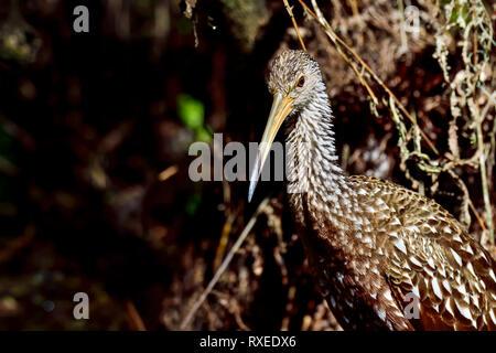 Limpkin in it's habitat - Stock Image