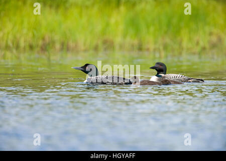 A pair of common loons, Gavia immer, with two chicks A  on East Inlet in Pittsburg, New Hampshire.  A pond upstream - Stock Image