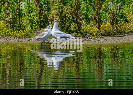 Young seagulls flock and crowd around adult bird waiting for regurgiated food - Stock Image