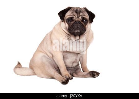 lovely cute pug puppy dog sitting down, isolated on white background - Stock Image