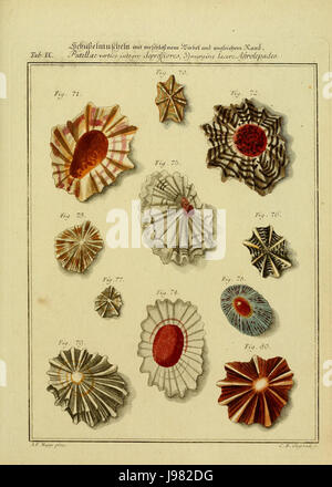Neues systematisches Conchylien CabinetVol1TabIX - Stock Image