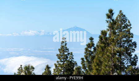 Canary Island pine forest, Pinus canariensis, in Nublo Rural Park, in the interior of the Gran Canaria Island, Canary Islands, Spain - Stock Image