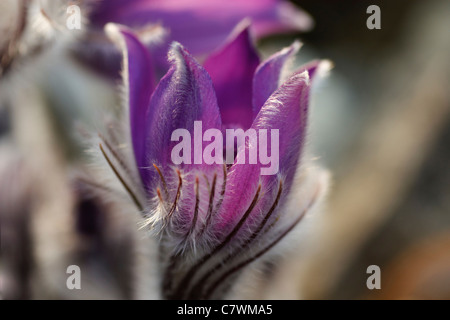 Close-up image of a Pulsatilla Halleri in spring time. - Stock Image