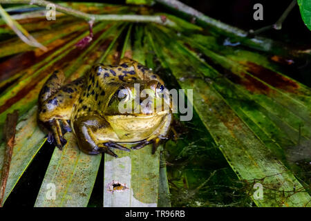 Pig frog is ready for the night activities. - Stock Image
