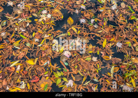 leaves flating in the lake in late autumn - Stock Image
