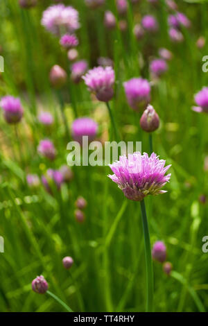 The lilac flowers of a blossoming perennial chive plant, Allium Schoenoprasum - Stock Image