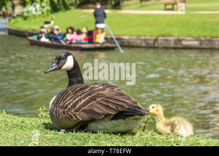 Canadian goose with newly born baby gosling on the banks of the river Cam with punting to the rear in the backs of Cambridge, England, UK. - Stock Image