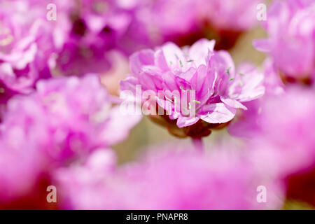 Thrift or Sea Pink (armeria maritima), close up of a single flower out of many with low depth of field. - Stock Image