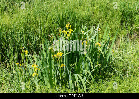 Yellow flag iris at side of ditch - Stock Image
