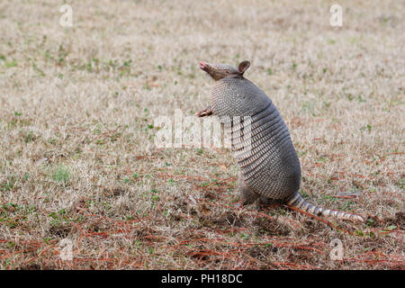 A nine-banded armadillo on its hind legs. - Stock Image