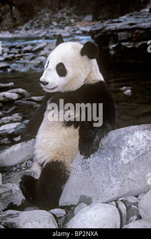 Giant panda lounges against rock beside river, Wolong, China - Stock Image