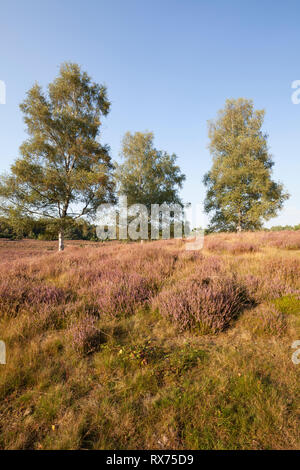 Birch, Nature reserve Westruper Heide, Additional-Rights-Clearance-Info-Not-Available - Stock Image