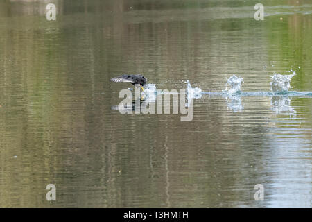 Coots (fulica atra) showing aggressive fighting territorial behaviour in early spring and running across a still calm lake - Stock Image