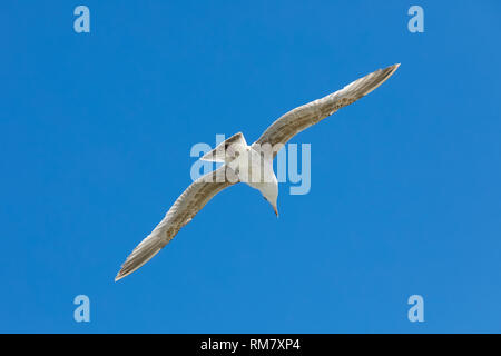 One seagull observes something in flight which took place in the sky over Baltic sea in Kolobrzeg in Poland. - Stock Image